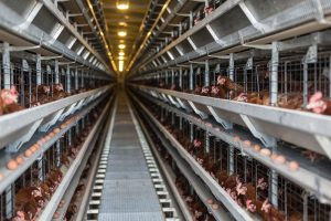 Poultry factory producing non free-range eggs