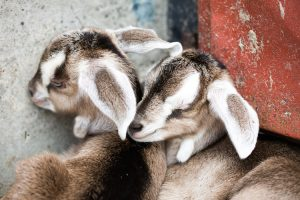Kid goats at Dartington Dairy