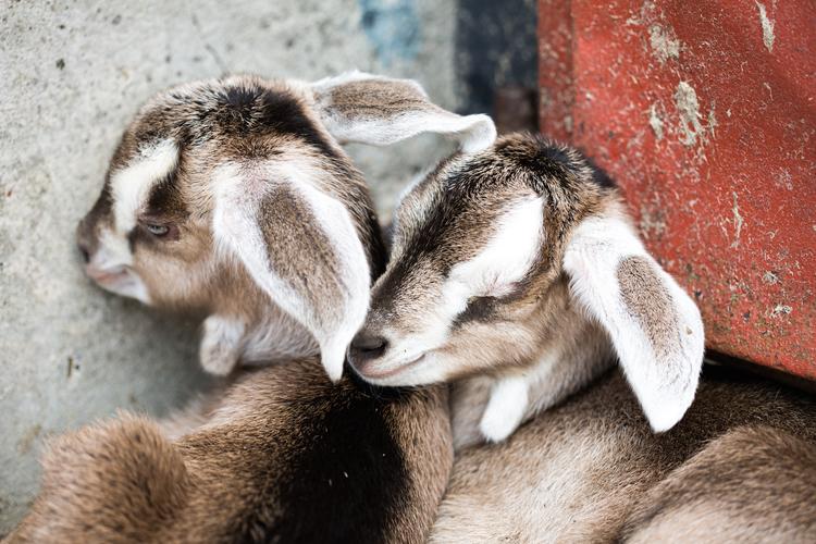 Kid goats at Dartington Dairy