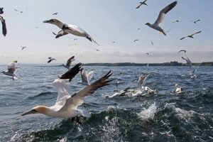 Gannets feeding, but not on smoked chicken